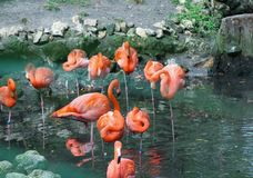Flamingos en Mass doing the Flamingo Fling. A multitude of Flamingos standing in the small pond with their pink and orange reflection stock image