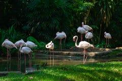 Flamingos equipados com pernas longos brancos de Gracefull em um rio luxúria da selva Fotografia de Stock Royalty Free