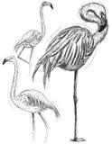 Flamingos esboçado Fotografia de Stock