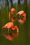 Flamingos feeding. Three flamingo's feeding in a pool at Whipsnade zoo Royalty Free Stock Image
