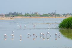 Flamingos feeding in laggon of desert town Lobito, Angola, Southern Africa Royalty Free Stock Photo