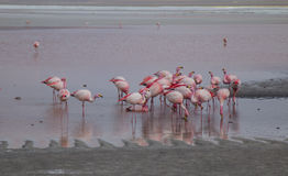 Flamingos feeding in a lake Royalty Free Stock Images