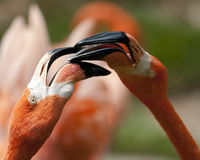 Flamingos Fighting Royalty Free Stock Photo
