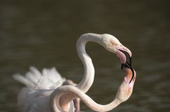 Flamingos fighting Stock Photography
