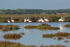 Flamingos. Flamingo lagoon marsh boom in the Guadalquivir royalty free stock photography