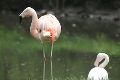 Flamingos. Flamingo wore next to the water in search of food. summer, green grass, feathers, foraging through the beak is placed underwater, flying in large Royalty Free Stock Image