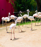 Flamingos or flamingoes are a type of wading bird in the genus P Stock Photo