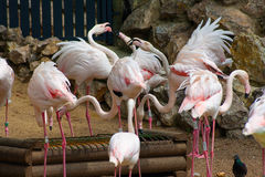 Flamingos. Or flamingoes are a type of wading bird in the genus Phoenicopterus (from Greek: φοινικόπτερος, meaning purple wing), the only genus in Stock Images