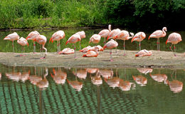 Flamingos Reflections. Flock of pink flamingos  in lake reflecting on water in foreground Royalty Free Stock Images