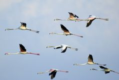 Flamingos in Flight. Flock of flamingos in flight at the Ras al Khor bird sanctuary, Dubai , United Arab Emirates royalty free stock image