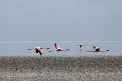 Flamingos in Flight Royalty Free Stock Photos