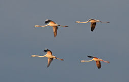 Flamingos flight Royalty Free Stock Image
