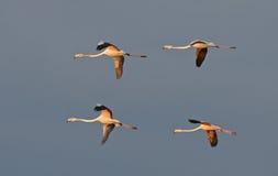 Flamingos flight Royalty Free Stock Image