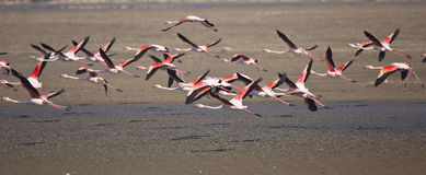 Flamingos in Flight Stock Images