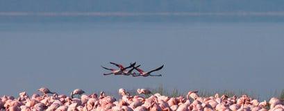 Flamingos in flight. Kenya. Africa. Nakuru National Park. Lake Bogoria National Reserve. Stock Photography
