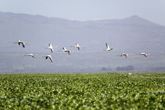 Flamingos in flight at Lake Naivasha, Great Rift Valley, Kenya, Africa Stock Photos