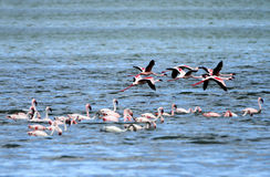 Flamingos in flight Royalty Free Stock Images