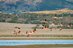Flamingos In Flight Stock Photo