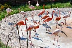 Flamingos. A flock of birds  Wildlife. The Safari Park. Animals Stock Photo