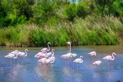 Flamingos flock Royalty Free Stock Images