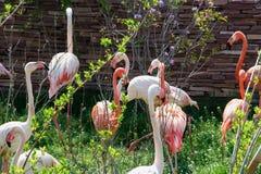 Flamingos flock. Colorful birds with long necks. Stock Photo