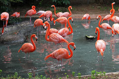 Flamingos. A flock of Flamingo's in their natural habitat Stock Images