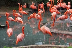 Flamingos. A flock of Flamingo's in their natural habitat Royalty Free Stock Images