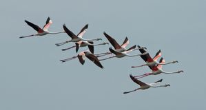 Flamingos in a flock of flying. Flamingos photographed in an abandoned salt pans of Ulcinj in Montenegro royalty free stock photography