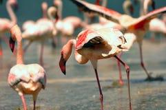 Flamingos Stock Images