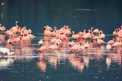 Flamingos flock. Nakuru lake Royalty Free Stock Image