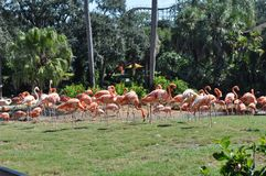 Flamingos in a flock that are pink. Royalty Free Stock Photos