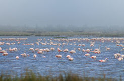 Flamingos. A flock of pink flamingos on the lake Royalty Free Stock Photography