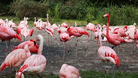 Flamingos Flock Together at the zoo. Pink Flamingos Flock Together at the zoo stock video footage