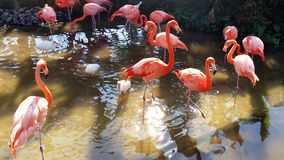 Flamingos in Florida royalty free stock images