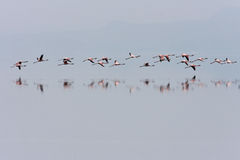 Flamingos flying Royalty Free Stock Photo