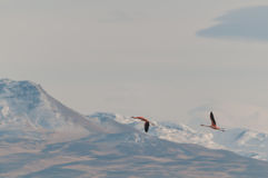 Flamingos flying. Stock Photography