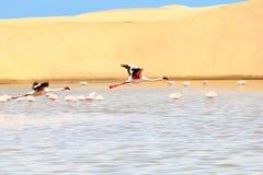 Flamingos flying desert dunes lake, Namibia, Africa Royalty Free Stock Image