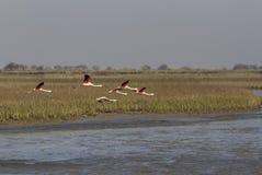 Flamingos flying Royalty Free Stock Photography