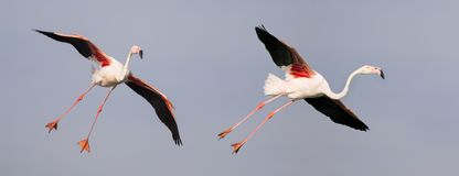 Flamingos flying. Pink flamingos flying in the air - website banner background idea Royalty Free Stock Images