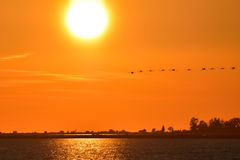 Flamingos flying on the sea at sunset. Stock Photography