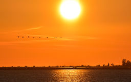 Flamingos flying on the sea at sunset. Royalty Free Stock Image