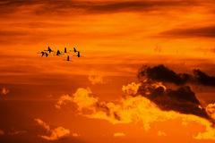 Flamingos flying at sunset Stock Image