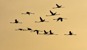 Flamingos flying at sunset in silhouette. Royalty Free Stock Photo