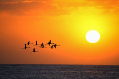 Flamingos flying at sunset under a bright sun Royalty Free Stock Photo