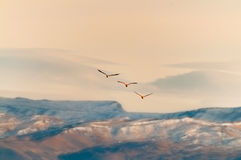 Flamingos flying. Stock Images