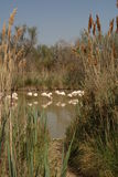 Flamingos framed by Reeds Stock Photo