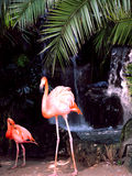 Flamingos in Front of Waterfall Royalty Free Stock Photo
