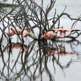 Flamingos, Galapagos Islands Stock Photography