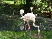 Flamingos graciosos cor-de-rosa bonitos Foto de Stock