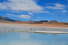 Flamingos in the green lagoon Stock Photography